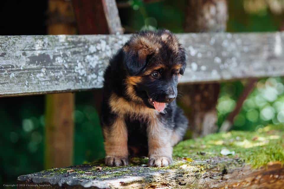 Cuccioli pastore tedesco pelo lungo
