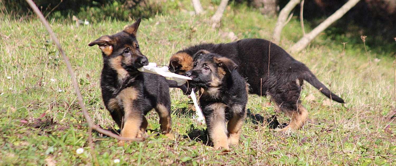Cuccioli Pastori Tedeschi a Pelo Corto