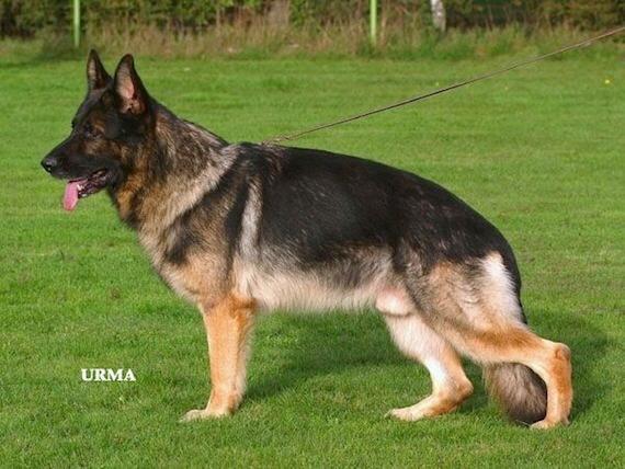Tutte le curiosità sul pastore tedesco grigione: il cane da lavoro