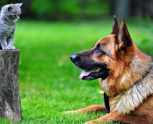 Pastore tedesco e gatto: come farli andare d'accordo
