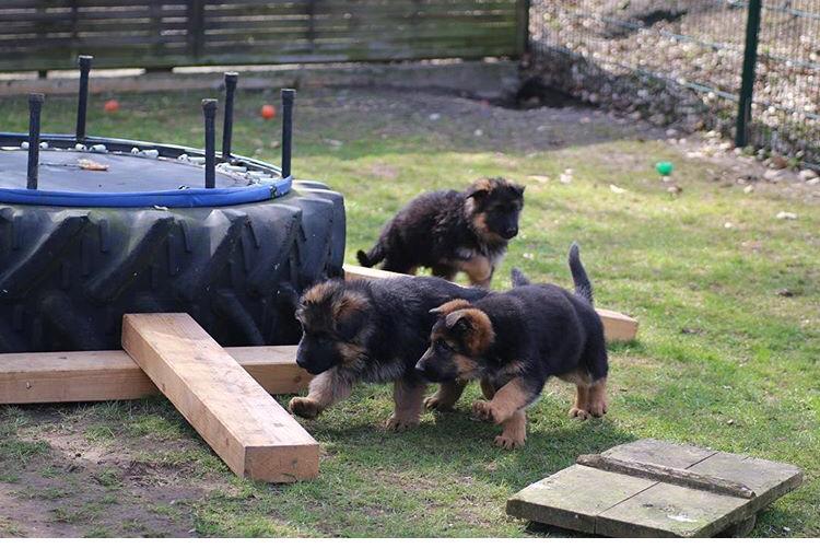 Perché il pastore tedesco scava le buche in giardino e in casa?