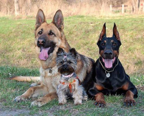 4 consigli per una convivenza perfetta tra il pastore tedesco ed altri cani
