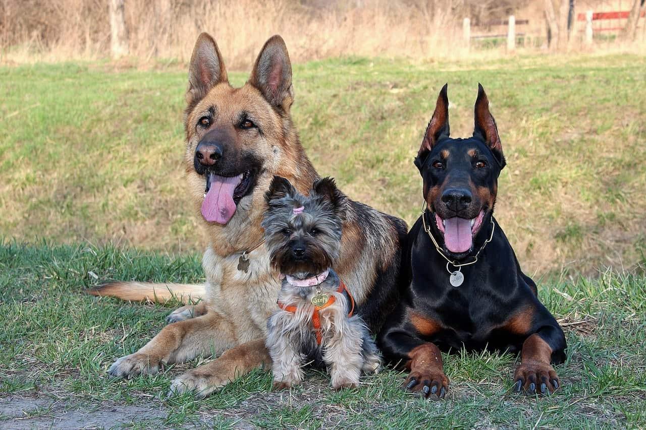 Convivenza Del Pastore Tedesco Ed Altri Cani Quale Cane Scegliere