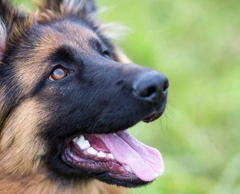 Come addestrare un cucciolo al guinzaglio