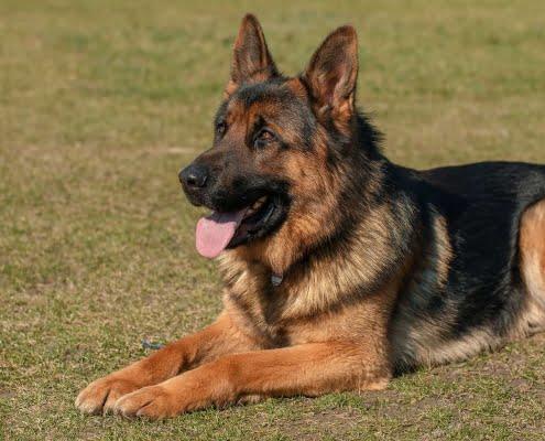 Malassezia nel cane: i sintomi per riconoscerla e come curarla