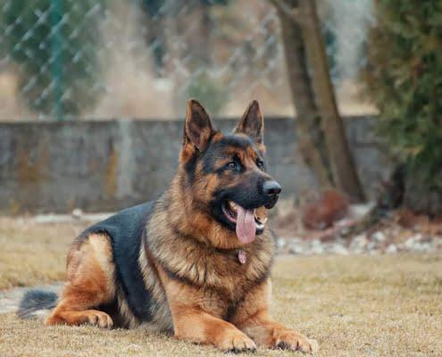 Ghiandole perianali del cane: perché si infiammano?