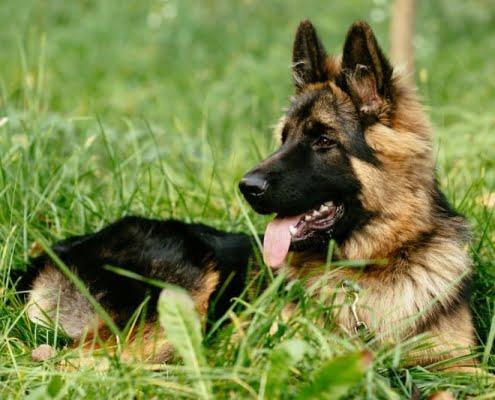 Curare la Giardia nel cane in modo naturale
