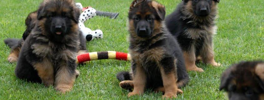 Primi passi con il cucciolo di Pastore Tedesco a casa