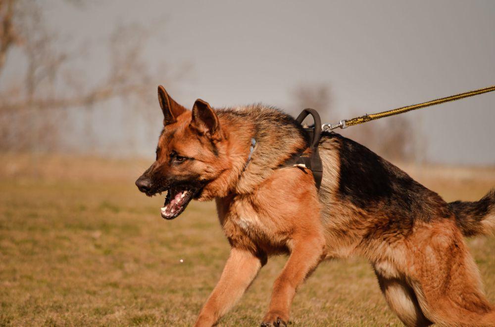 Pastore tedesco aggressivo: come ridurre la dominanza nel cane
