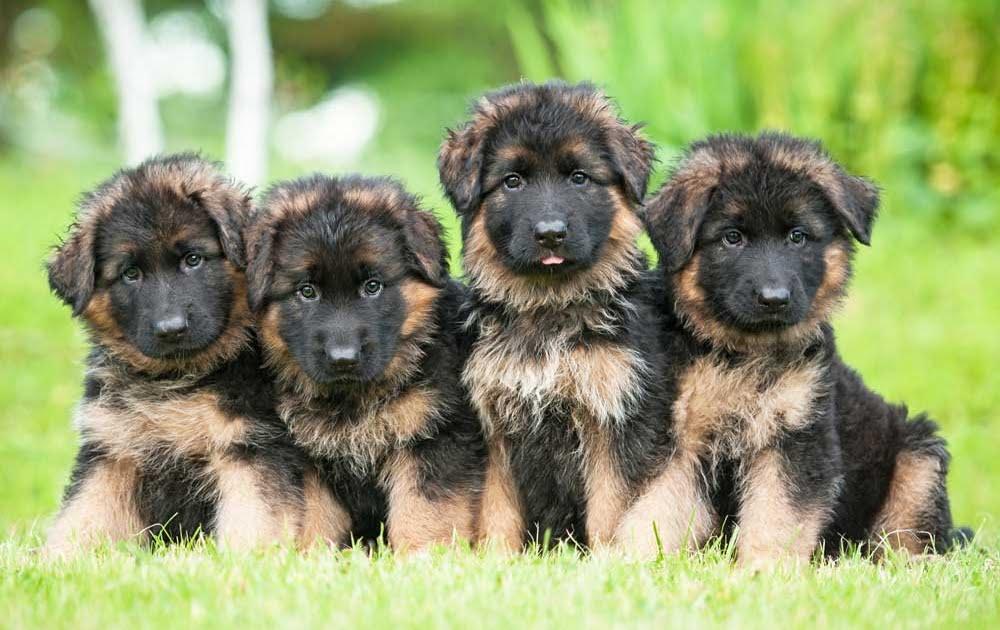 puppy kit pastore tedesco