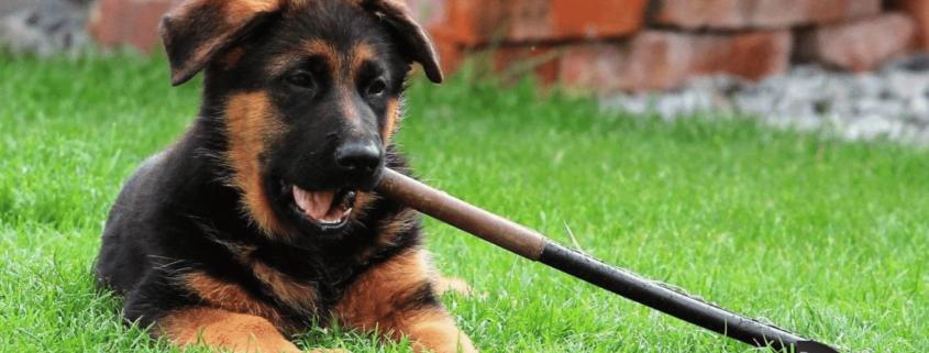 Vaccinazioni del cucciolo di pastore tedesco